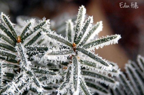 frosty pine needles