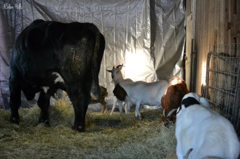 MJ, Star behind him, Vixen and Casey fighting beside the steer