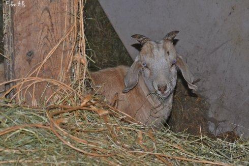 goat kid eating hay