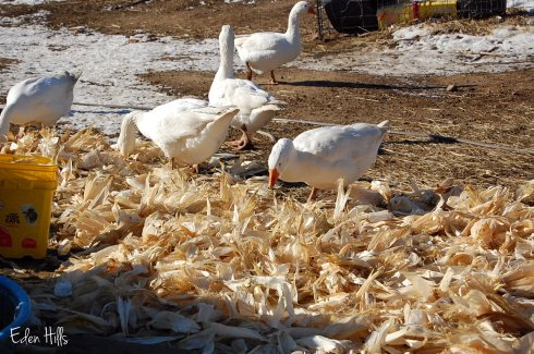 geese with corn husks