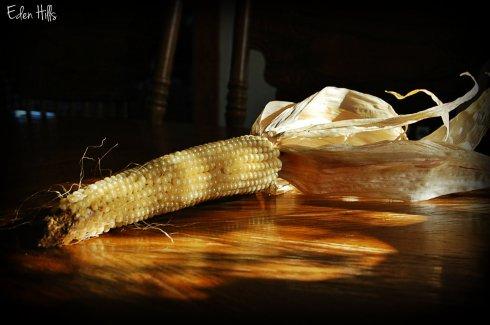 ear of popcorn