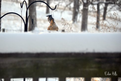 blue jay after snow