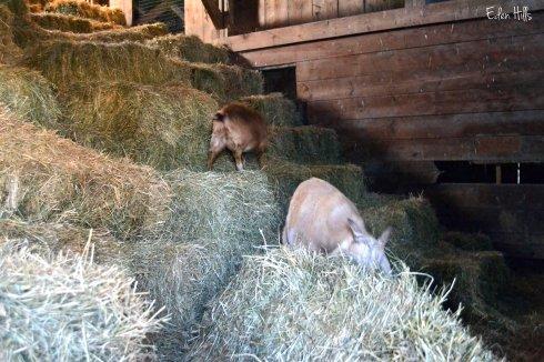goat kids in hay