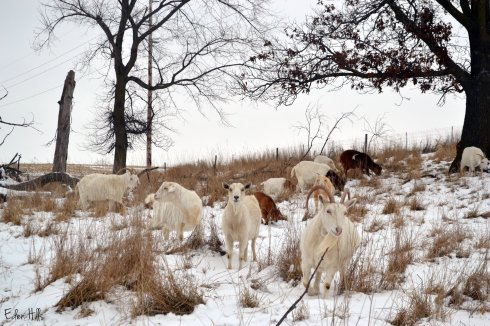 goats in snowy pasture