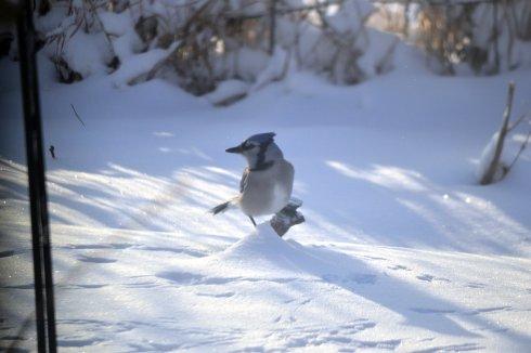 blue jay in snow