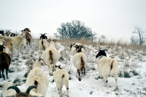 snowy pasture with goats