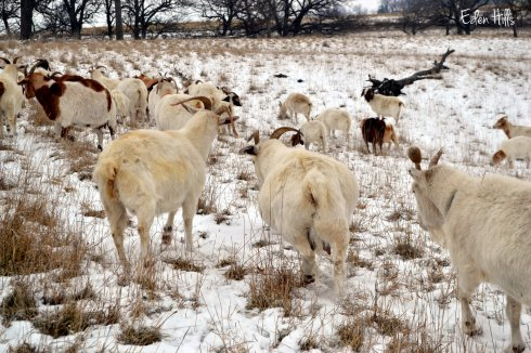 goats browsing in snowy pasture