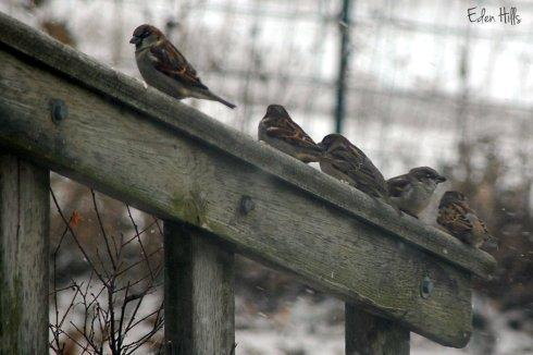 sparrows on deck railing