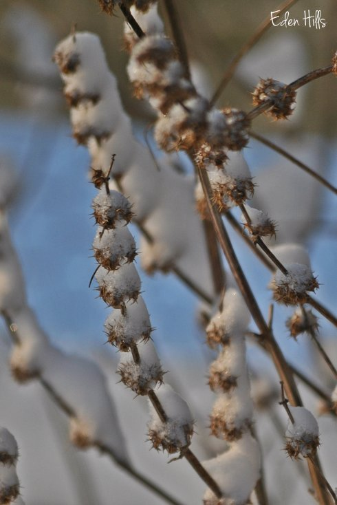 snowy weeds