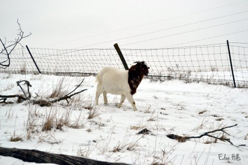 Boer goat in snowy pasture