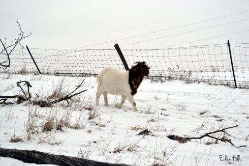 Boer goat in snowy pasture