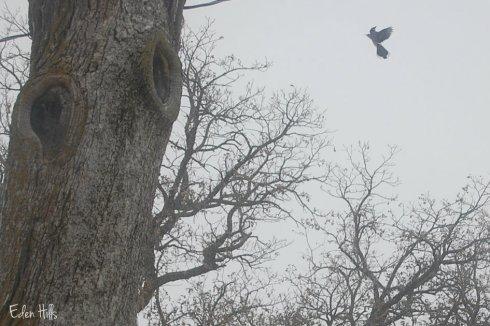 flying blue jay