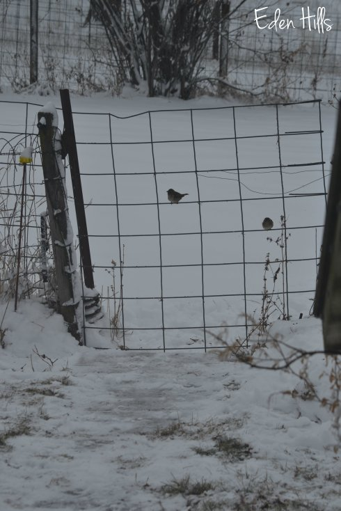 birds on cattle panel