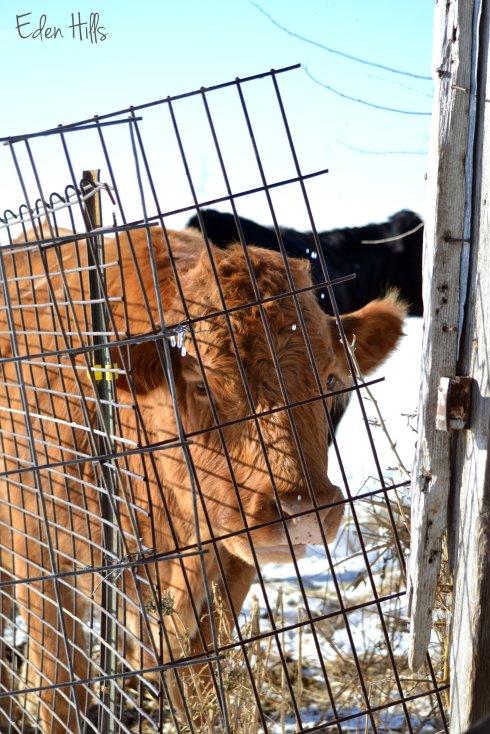 Red Gelbvieh cow