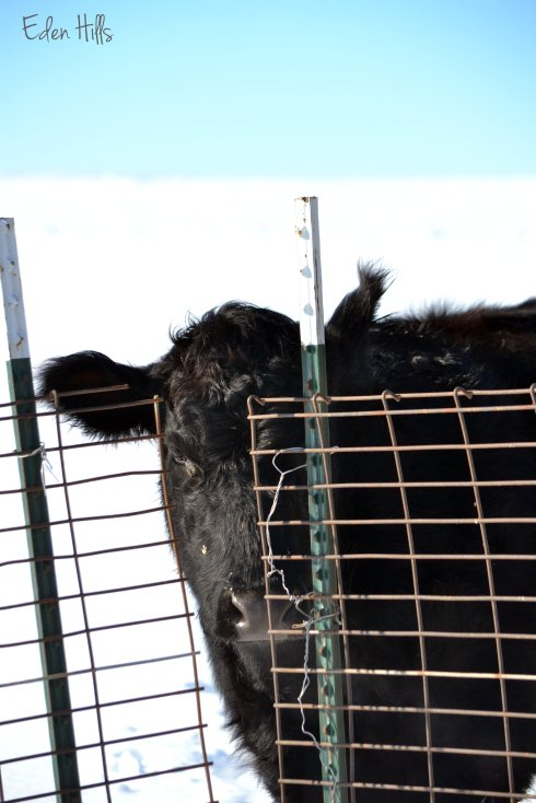 black Angus cross heifer