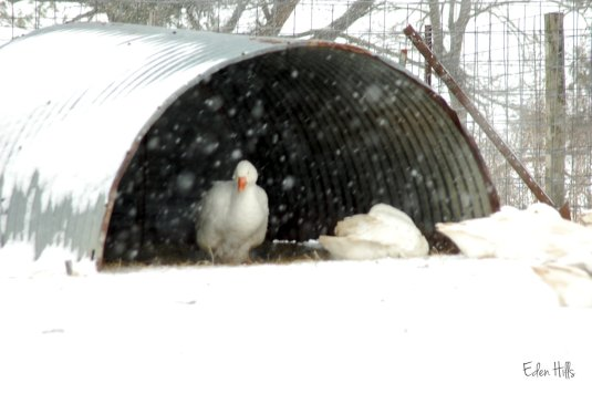 geese in quonset hut