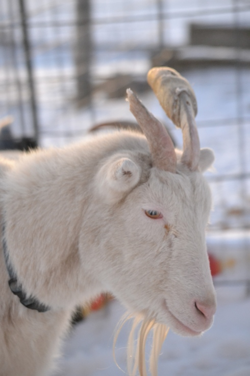 goat with broken horn