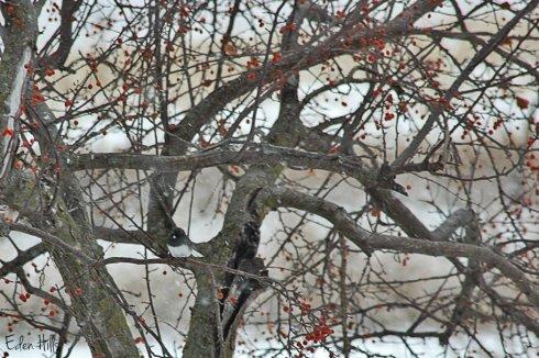 junco in tree