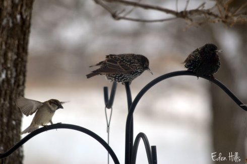 sparrow and starling