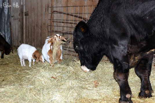 steer and goats eating hay