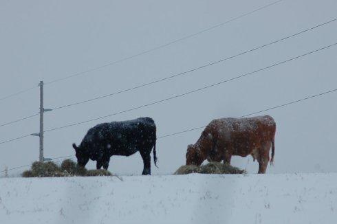 cows in snow eating hay