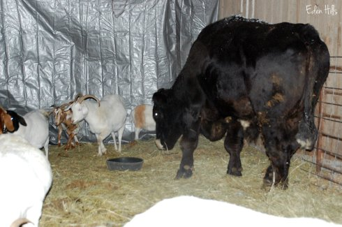 steer and goats in barn