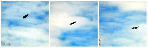 hawk flying collage