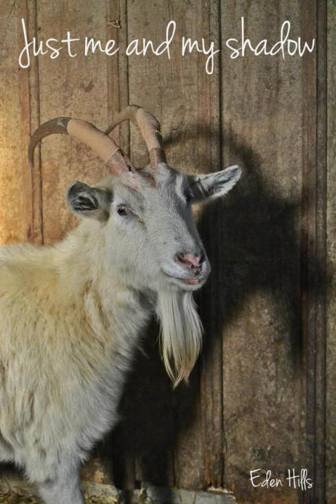Saanen doe with horn wrap