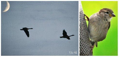 Canada geese, sparrow