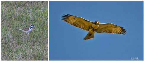 killdeer, red-tailed hawk