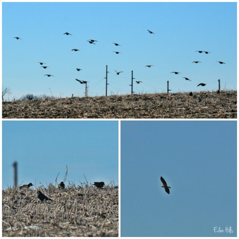 starlings and hawk