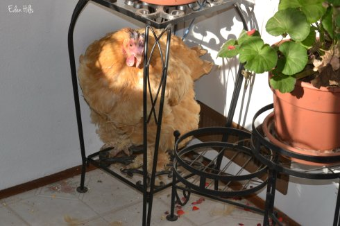 chicken on plant stand