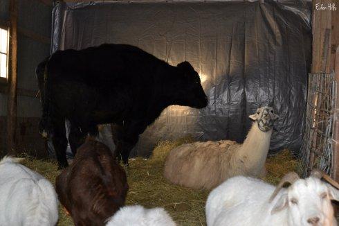 MJ, Djali and goats
