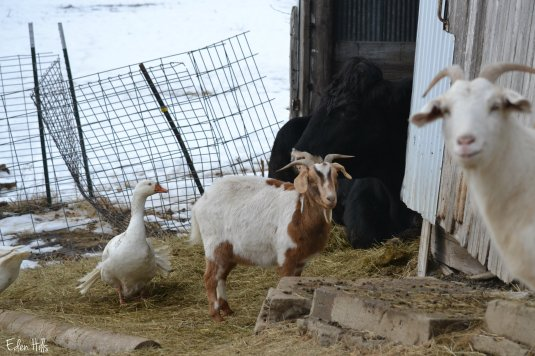 animals in the barnyard
