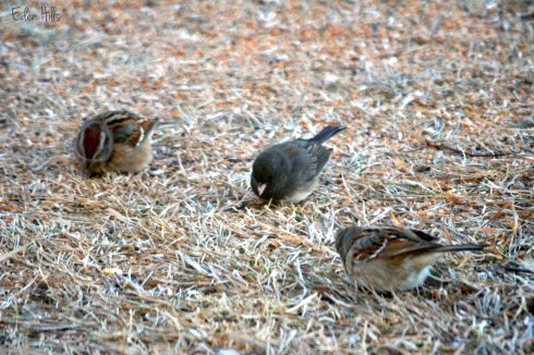 sparrows and junco