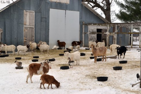 goats in barnyard