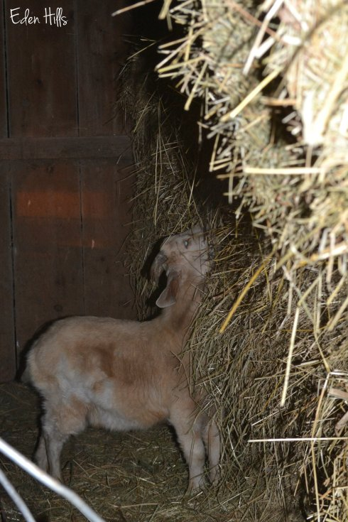 wether eating hay