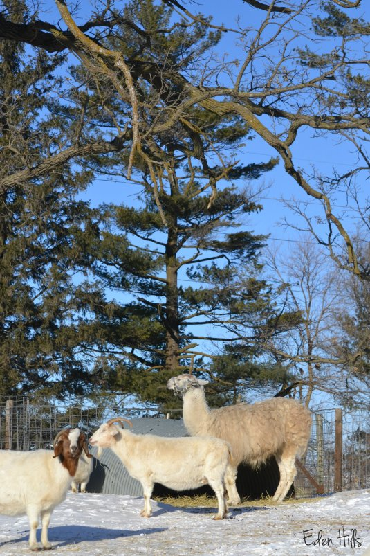 llama and goats