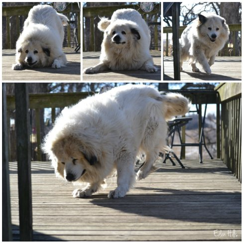 Great Pyrenees collage