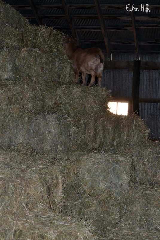 goat kid on hay
