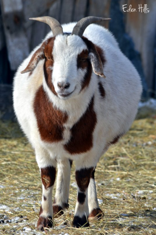fat doe goat