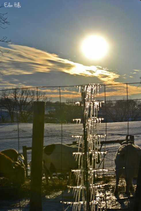 goats, icicles and sun