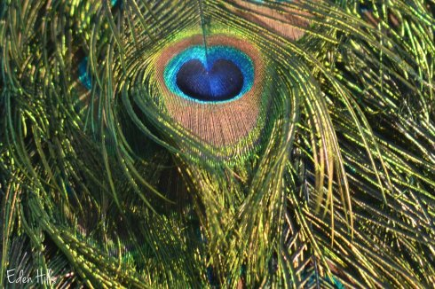 eye in peacock's tail