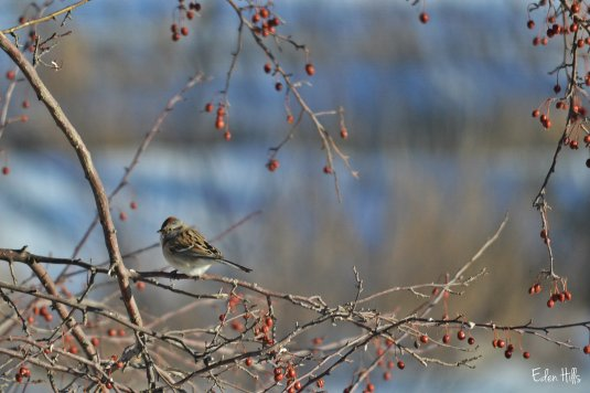 sparrow on crabapple tree