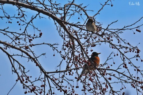 robin and sparrow in crabapple tree