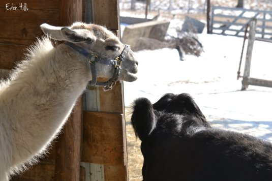 llama picking on ox