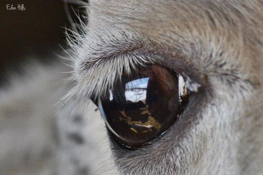reflection in llama eye