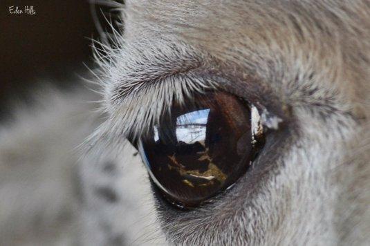 reflection in llama eye