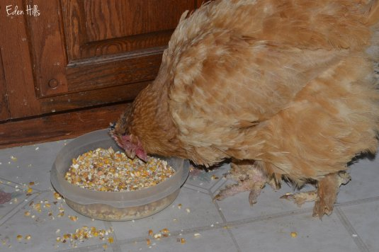 chicken eating corn