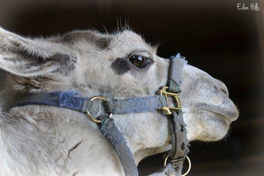 cranky llama